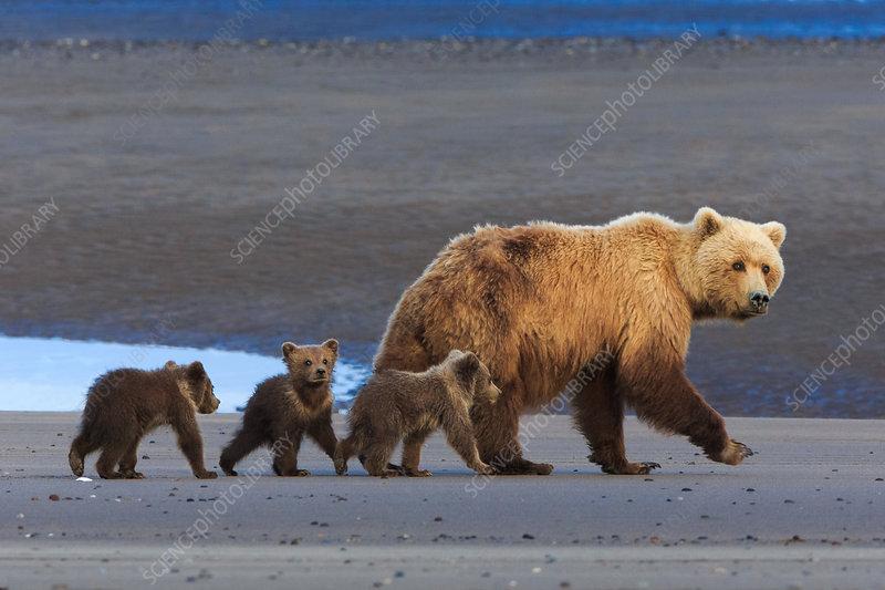 Brown bear sow and cubs, Alaska, USA