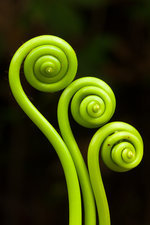 Fiddleheads, Puerto Rico