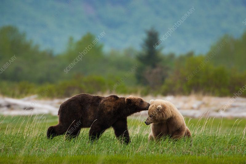 Brown bears, Alaska, USA