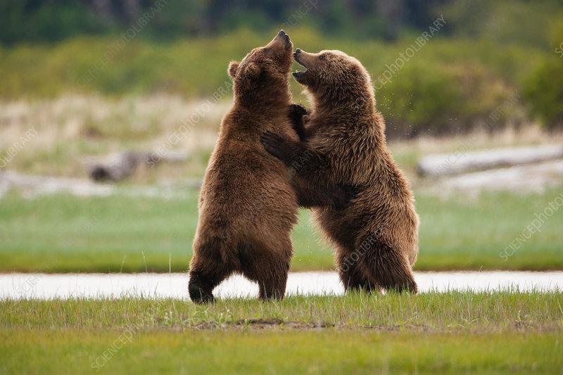 Brown bears, Alaska, USA