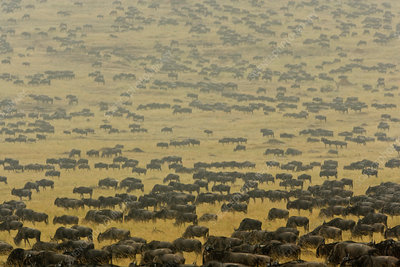 Herd of wildebeest Mara River region