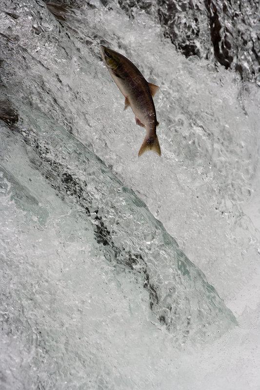 Salmon swimming upstream, Alaska, USA