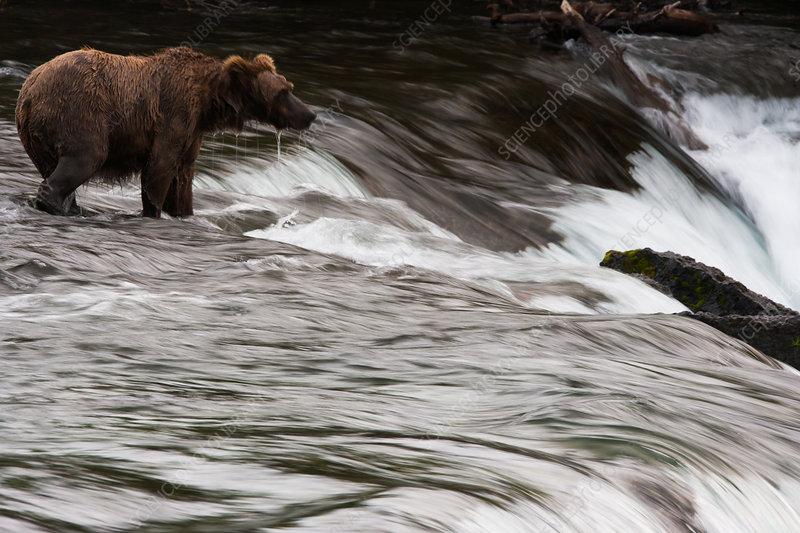 Brown bear, Alaska, USA