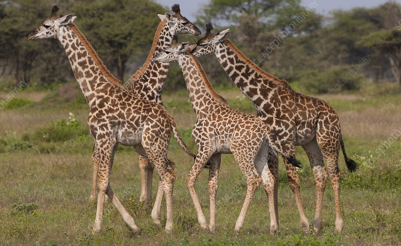 A small group of masai giraffe, Tanzania