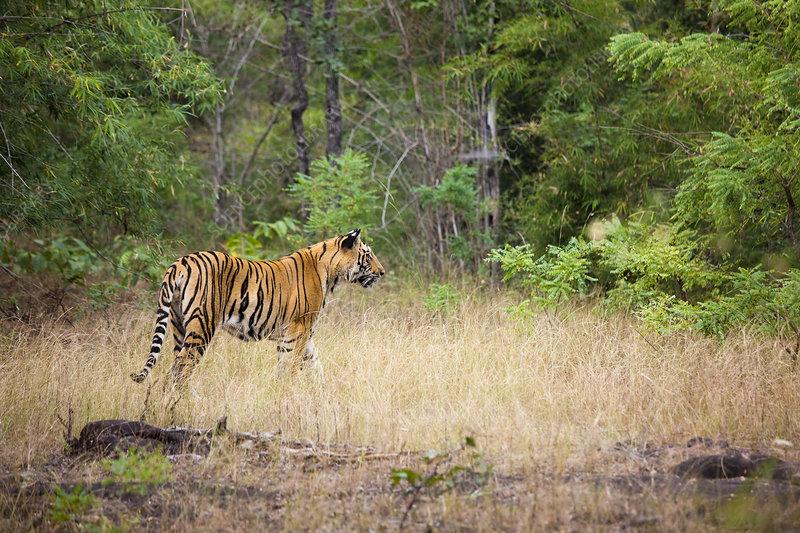 An adult tiger in Bandhavgarh, India