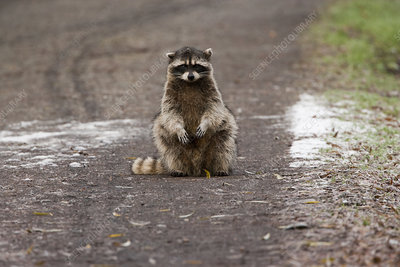 A small raccoon sitting in the road