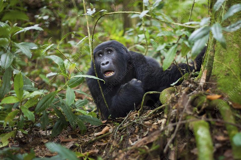 Mountain gorilla, Volcanoes, Rwanda