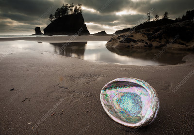 An abalone shell on Second beach, USA
