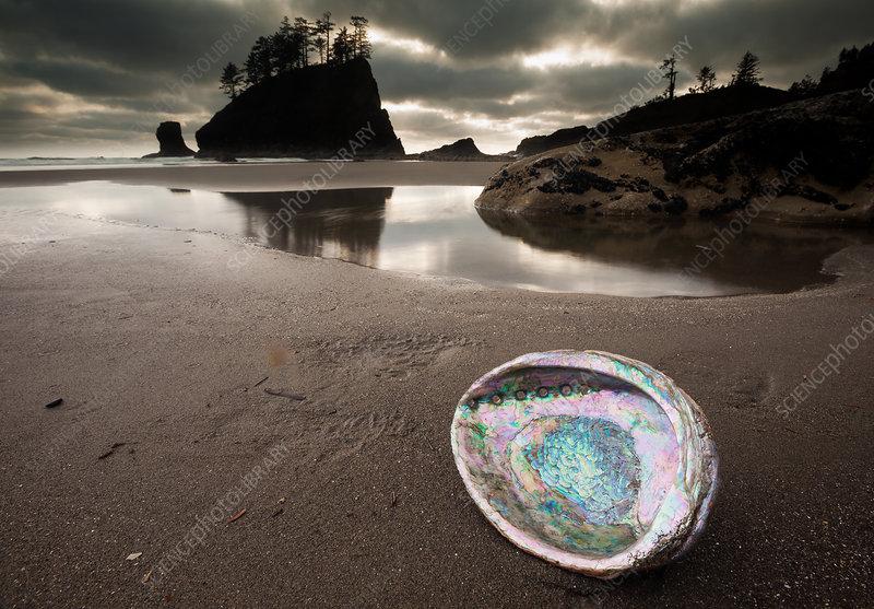An abalone shell on Second beach, USA