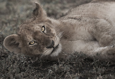 Lion cub lying down in Serengeti