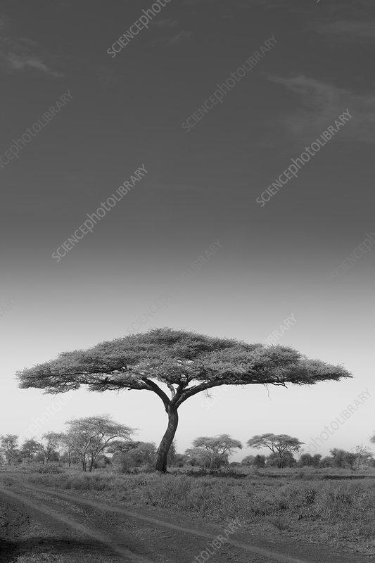 An acacia tree in Serengeti, Tanzania