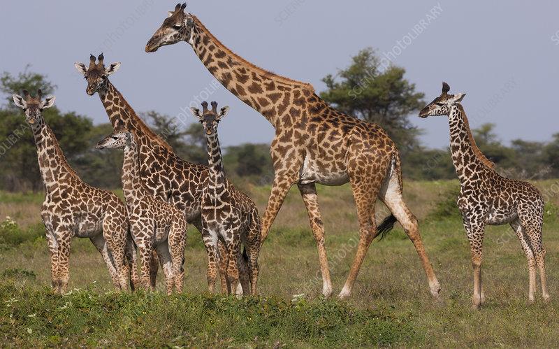 Small group of Masai giraffe in Serengeti