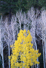 White branches and trunks of aspen trees