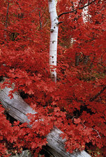Mountain maple trees, white bark of aspen