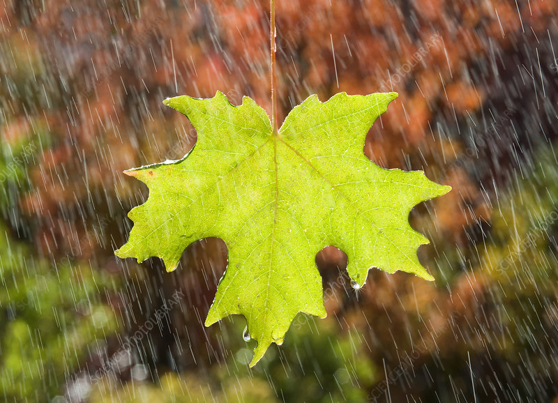 A vivid green maple leaf in autumn