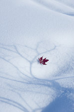An autumnal red maple leaf lying on snow