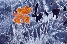 A brown maple leaf, frozen and frosted