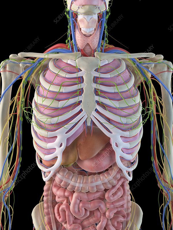 Human ribcage and organs, artwork