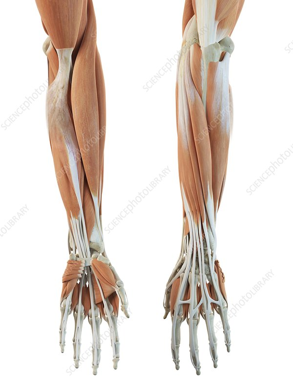 Human arm muscles, artwork
