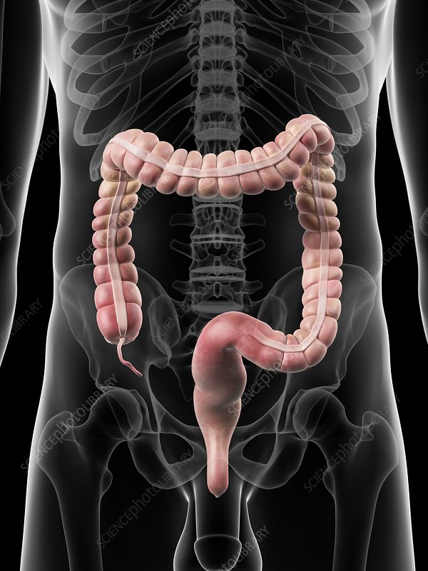 Human large intestine, artwork