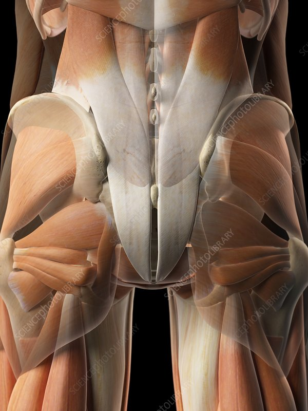 Human gluteal muscles, artwork