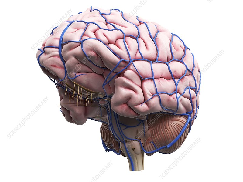 Human brain, artwork