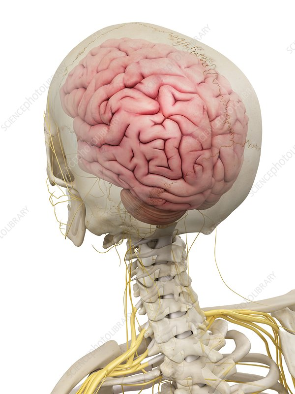 Human brain and nerves, artwork