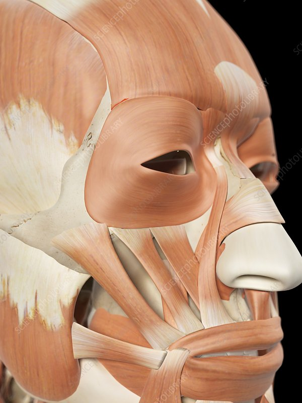 Human facial muscles, artwork