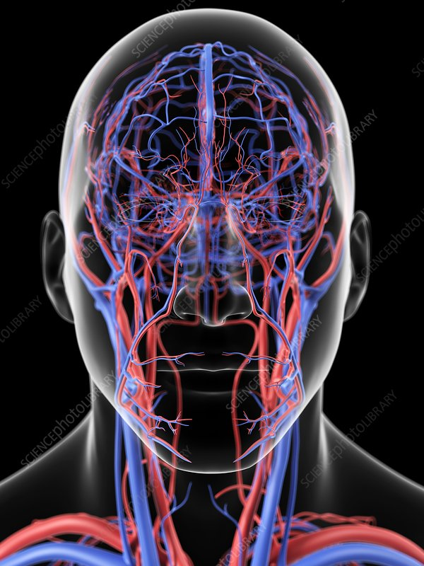 Head blood vessels, artwork