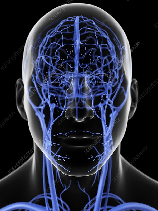 Human head veins, artwork