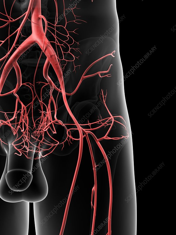 Human hip arteries, artwork