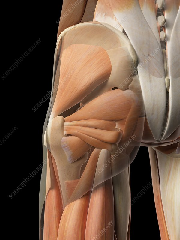 Human hip muscles, artwork