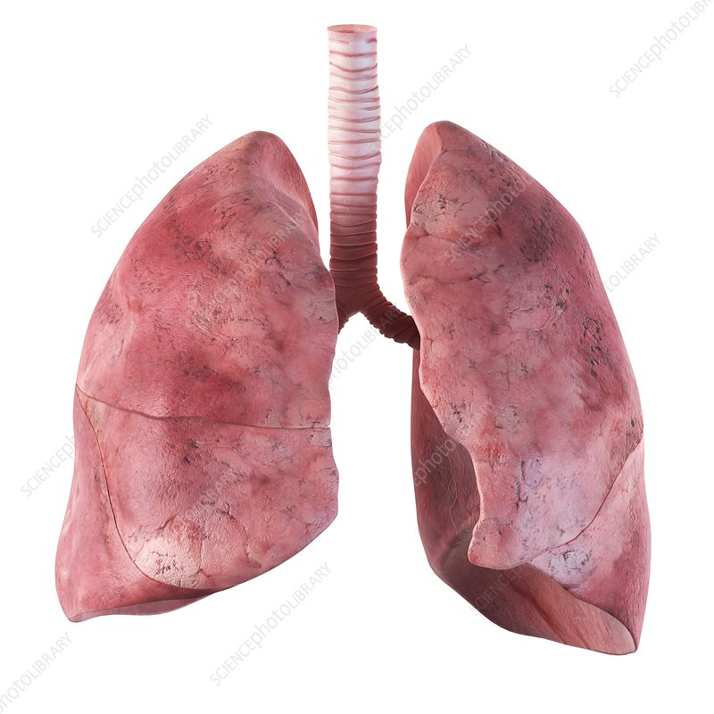 Human lungs, artwork