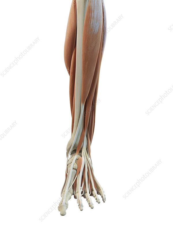 Leg and foot muscles, artwork