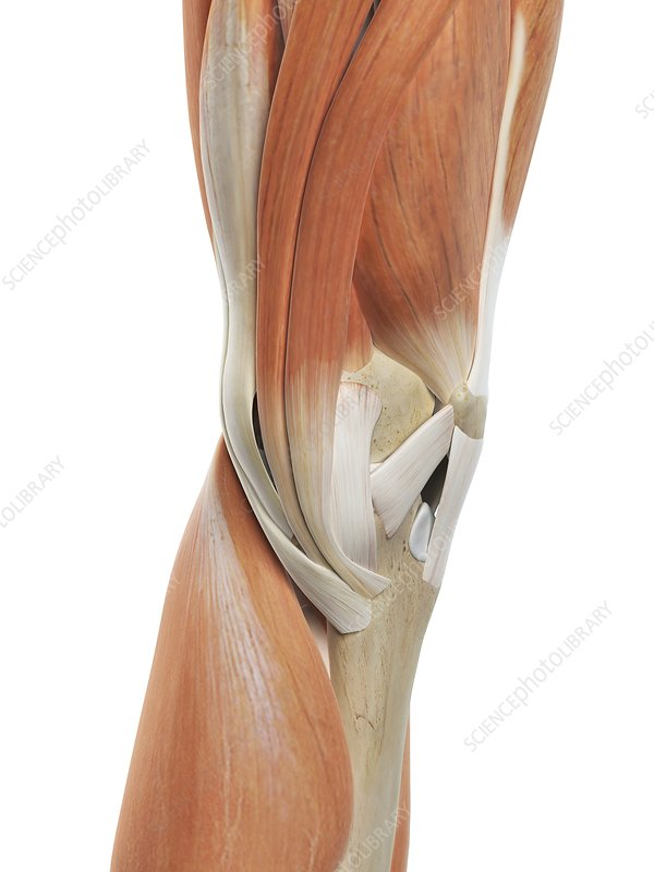 Human knee muscles, artwork