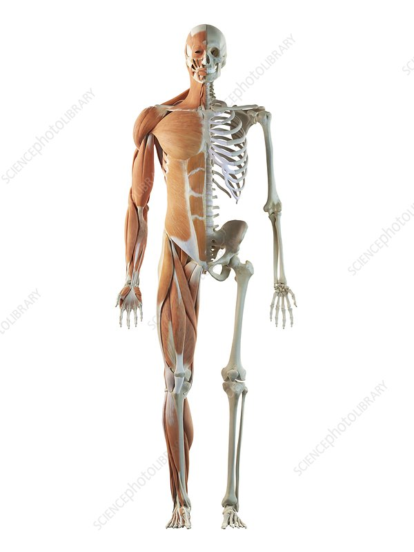 Human musculoskeletal system, artwork