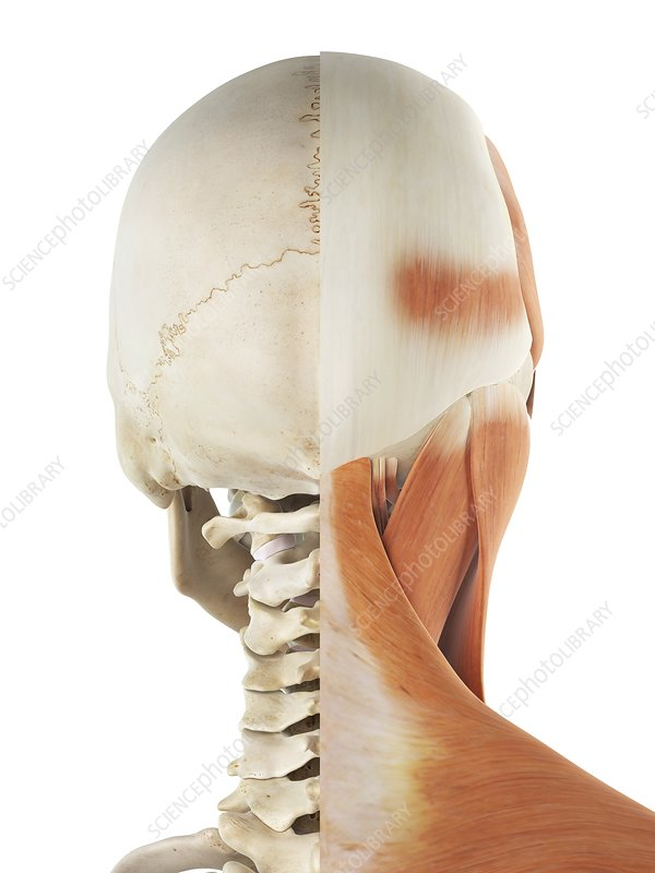 Human head and neck muscles, artwork