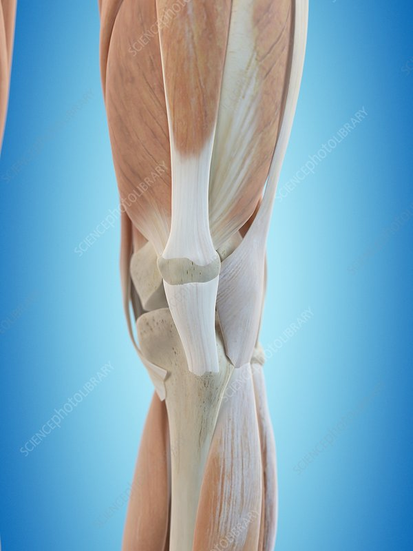 Human knee anatomy, artwork