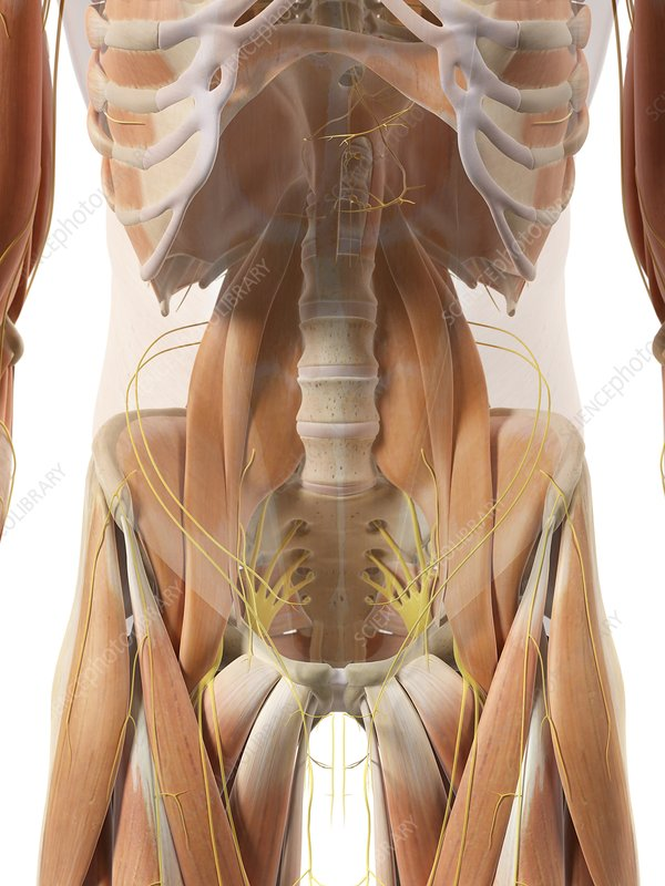 Hip nerves and muscles, artwork