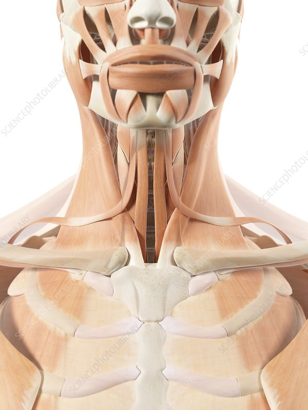 Human throat muscles, artwork