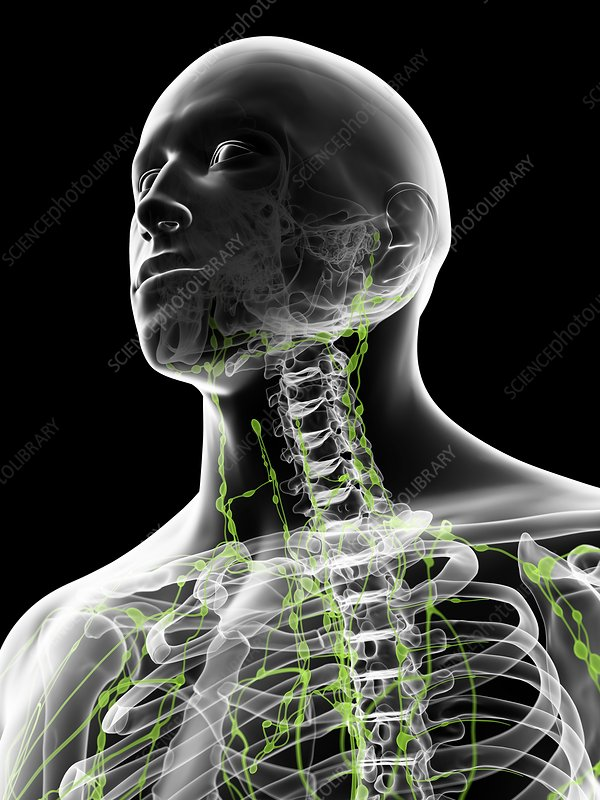 Lymph nodes in neck, artwork