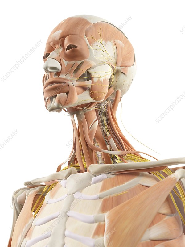 Neck muscles and nerves, artwork