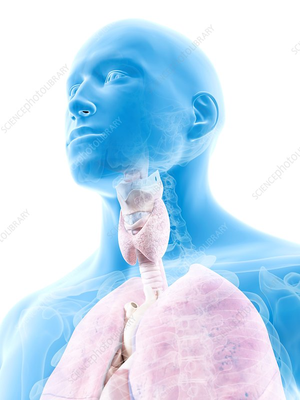 Human thyroid, artwork