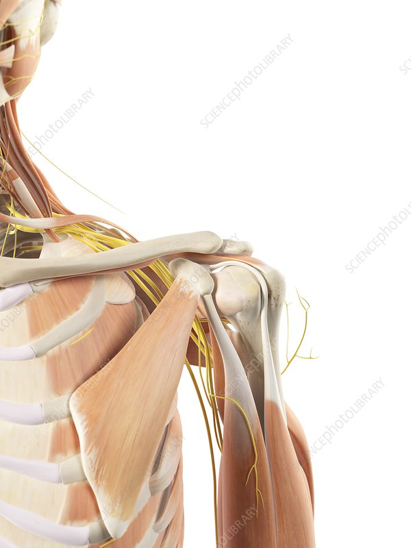 Shoulder anatomy, artwork