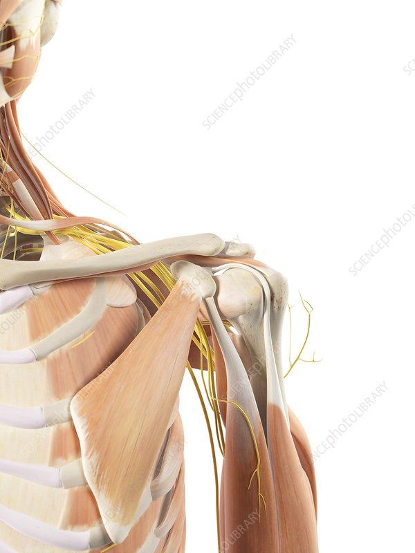 Shoulder anatomy video