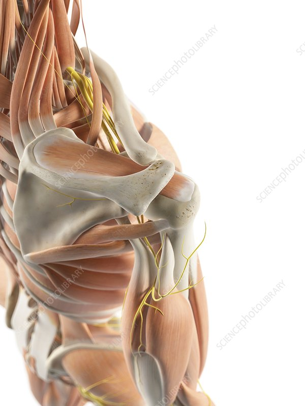 Shoulder muscles and nerves, artwork