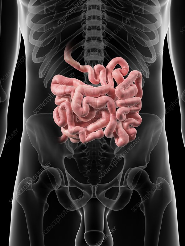 Small intestine, artwork