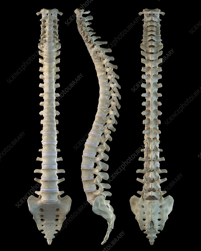 Human spine, artwork