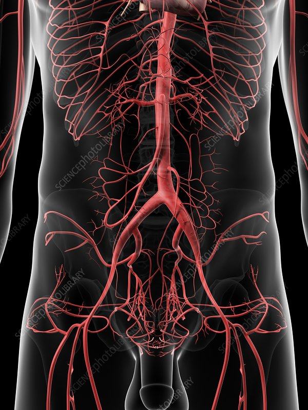 Human abdominal arteries, artwork