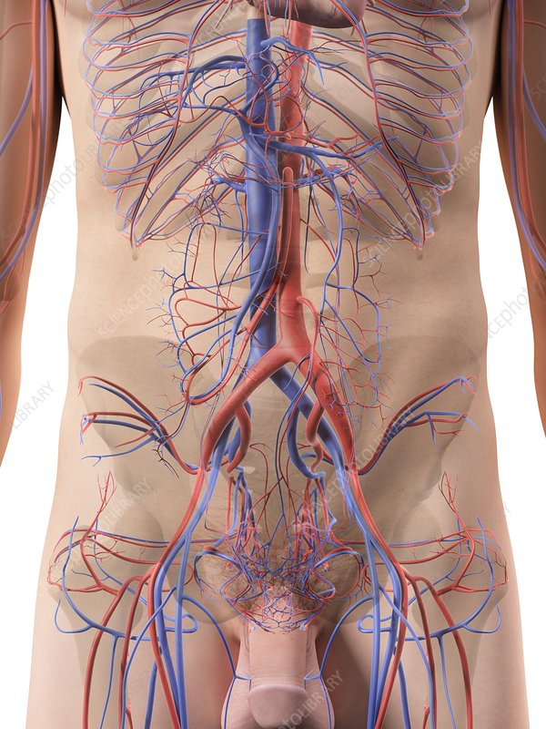 Abdominal blood vessels, artwork